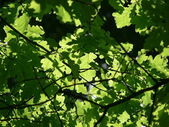 Green leaves oak — Stock Photo