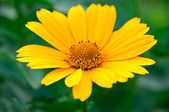 Beauty yellow-orange flower daisy — Stock Photo
