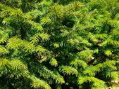 Background from the green fir-tree branc — Stock Photo