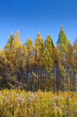 Yellow trees in a row and grass autumn — Stock Photo