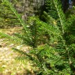 Fur-trees green branch close up — Stock Photo
