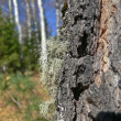 Moss on a trunk of an old birch — Stock Photo #1301391