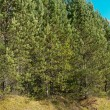 Pines in taiga — Stock Photo