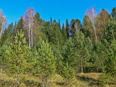 Fur-trees, birches, blue sky in taiga — Stock Photo