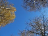 Birch tops against the autumn blue sky — Stock Photo