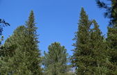 Two fur-trees and blue sky in taiga — Stock Photo