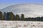 Horský průsmyk. borovice, cedry, sníh. — Stock fotografie