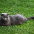 Scottish fold cat on the green grass — Stock Photo #1295622