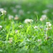 White clover — Stock Photo #1296433