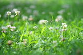 白三叶草 — 图库照片