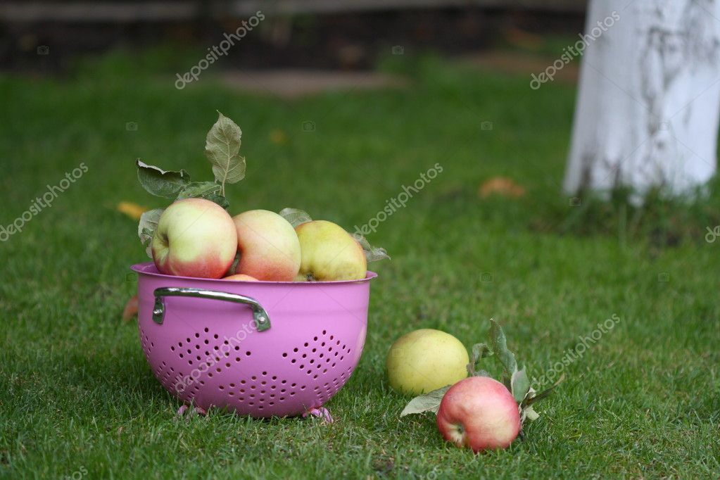 Apples in the pink strainer under the tree — Stock Photo #1306265