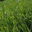 Grass — Stock Photo #1296219