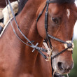 Stock Photo: Bay horse training in bridle at summer