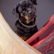 Portrait of Rottweiler in studio — Stock Photo
