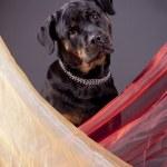 Portrait of Rottweiler in studio — Stock Photo #1508346