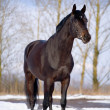 Trakehner stallion standing in snow — Stock Photo