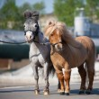 American miniature ponys in city — Stock Photo