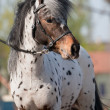 Portrait of small pony appaloosa. — Stock Photo