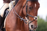 Bay horse training in bridle at summer — Stock Photo