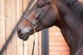 Dark bay stallion near stable — Stock Photo