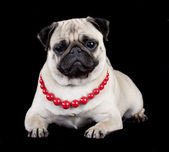 Pug in red beads on black background — Stock Photo