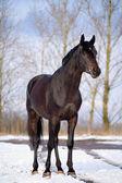 In piedi di stallone Trakehner nella neve — Foto Stock