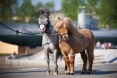 American miniature ponys in city — Stock Photo