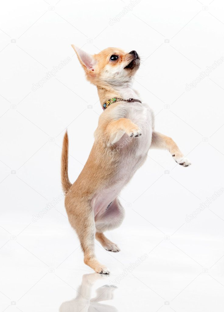 Chestnut chihuahua jumping in studio on gray background — Stock Photo #1508646