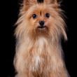 Stock Photo: Chestnut dog on black background