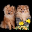 Royalty-Free Stock Photo: Chestnut Pomeranians on black background