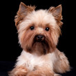 Yorkshire Terrier on black background — Stock Photo #1515577