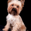 Yorkshire Terrier on black background — Stock Photo #1515582