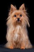 Chestnut dog on black background — Stock Photo