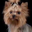 Yorkshire Terrier on black background — Stock Photo