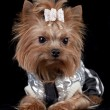 Yorkshire Terrier on black background — Stock Photo #1521491