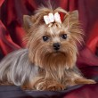 Yorkshire Terrier on red background — Stock Photo