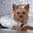 Yorkshire Terrier on silver background — Стоковая фотография