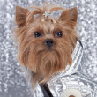 Yorkshire Terrier on silver background — Stock Photo