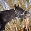 Emotion of black trakehner horse — Photo