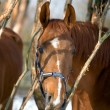 Emotion of chestnut trakehner horse — Stock Photo