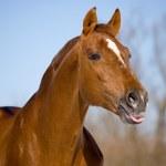 Portrait of chesnut trakehner stallion — Stock Photo