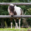 Stock Photo: Small Shetland pony in paddock