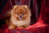 Chestnut Pomeranian on red silk — Stock Photo