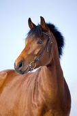 Portrait of bay horse in winter — Stock Photo