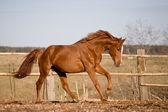 Chesnut stallone al galoppo nel paddock — Foto Stock