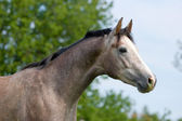 Portrait of dapple-gray trakehner horse — 图库照片