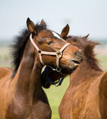 Two foal in field — Stock Photo