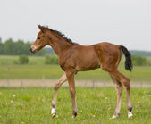 Small foal in field — Stock Photo