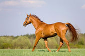 Chestnut horse trotting in field — Stock Photo