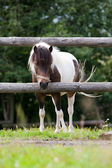 Small Shetland pony in paddock — Stock Photo